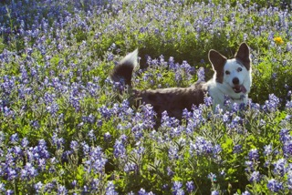 Conan in the Blue Bonnets