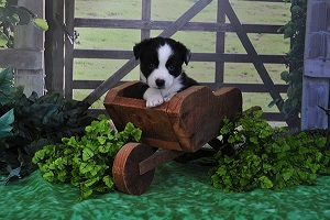 Available: Male cardigan corgi puppy 'Harry'