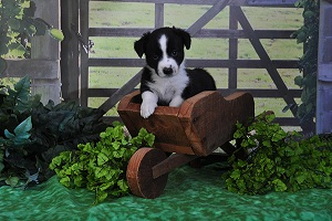 Available: Male cardigan corgi puppy 'Sirius'