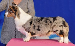Cardigan Corgi: Sunkissed Fine By Design