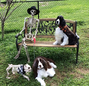 English Springer Spaniels Tessa & Emma Ober