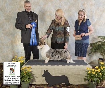 Cardigan Corgi 'Christian' takes 1st place in Open at the CWCCA