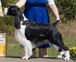 English Springer Spaniel Stud Dogs in Stuart, Florida