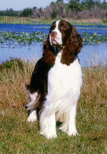 Akc Regd English Springer Spaniel And Cardigan Corgi Breeders